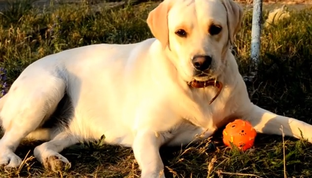 playful-labrador-ball-cute-dog