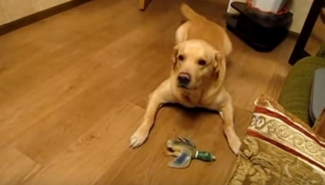 playful-labrador-dog-dark