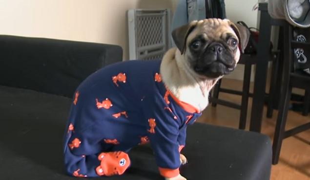 pug-pijamas-dog