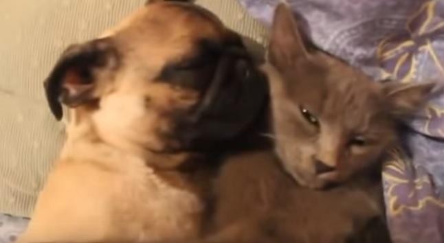 pug-sleep-with-cat