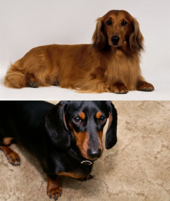 two-dachshunds