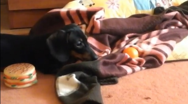 adorable-doxie-dog