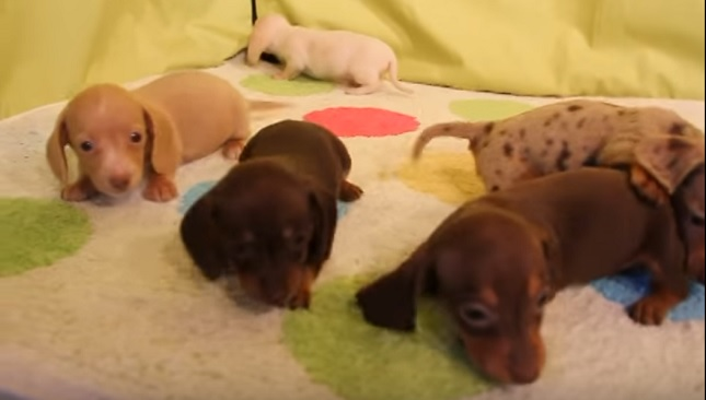 adorable-puppies-dogs-dachshunds