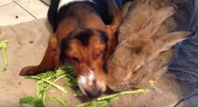 basset-dog-rabbit-eat-together