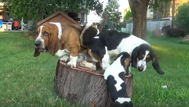 basset-hound-dogs-play-family