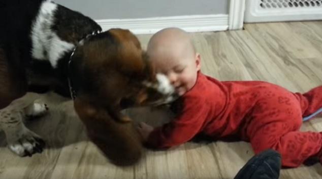 basset-hound-lick-kid