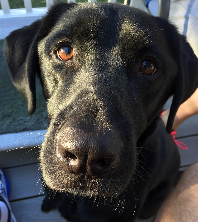 black-lab-dog-waiting-play