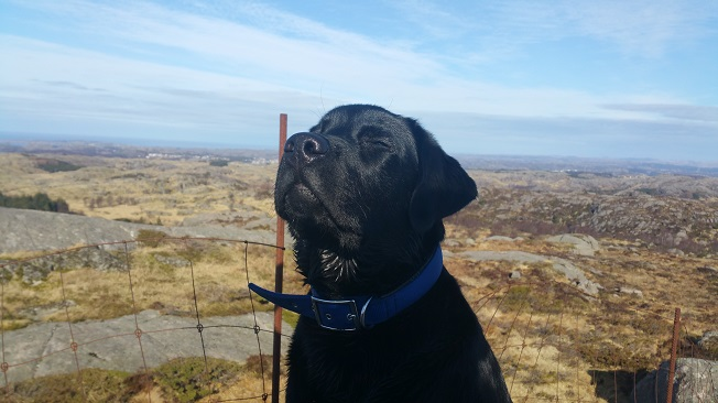 black-labrador-face-sunny-day