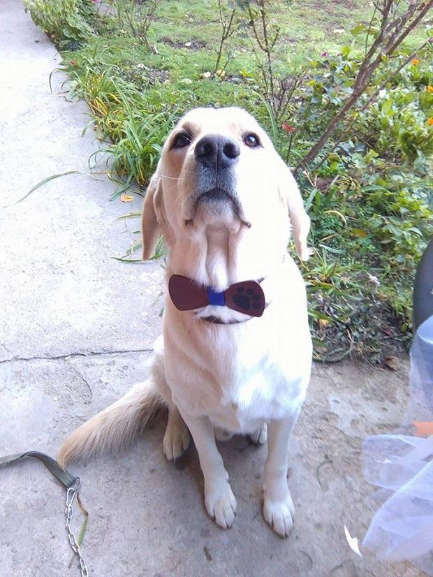 bow-tie-dapper-labrador