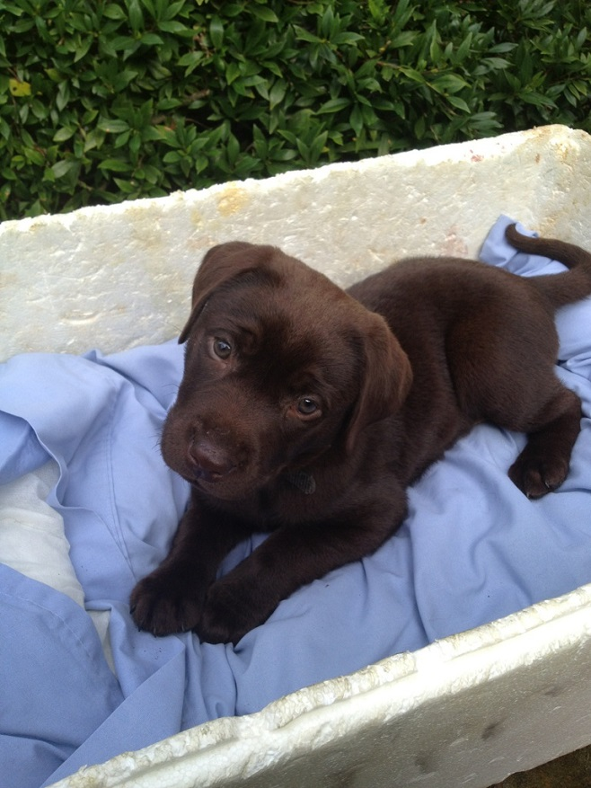 chocolate-labrador-puppy-dog-cute