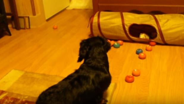 curious-dachshund-pup