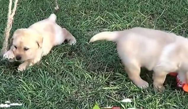 cute-labrador-puppies-pups