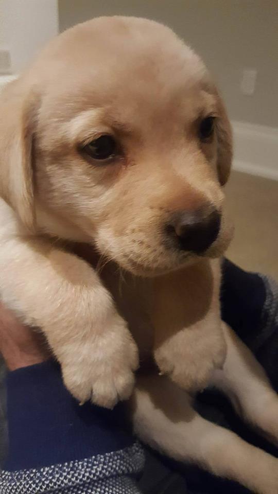 cute-labrador-puppy-dog