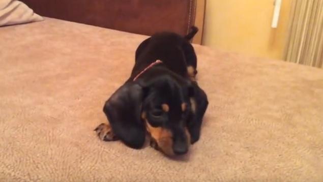 cute-puppy-dachshund-couch