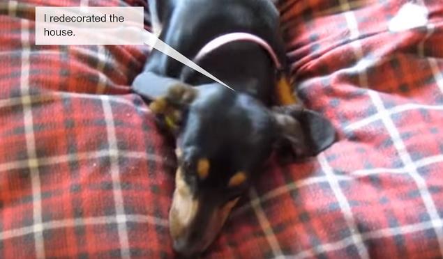 dachshund-dog-bed