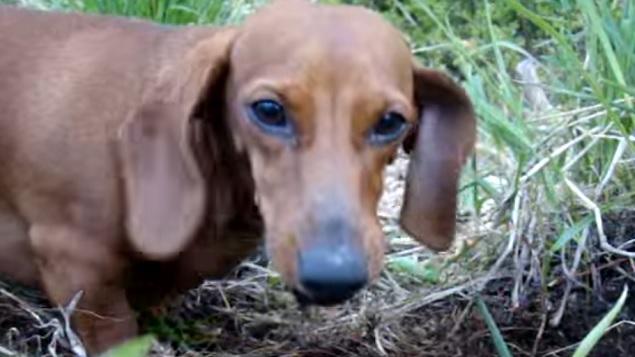 dachshund-face