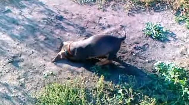 digging-pup-dachshund