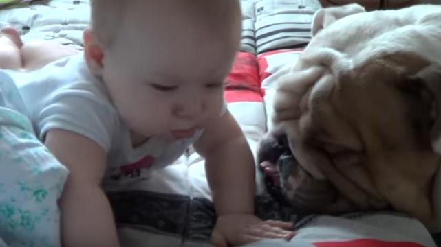 english-bulldog-dogs-kid-playing