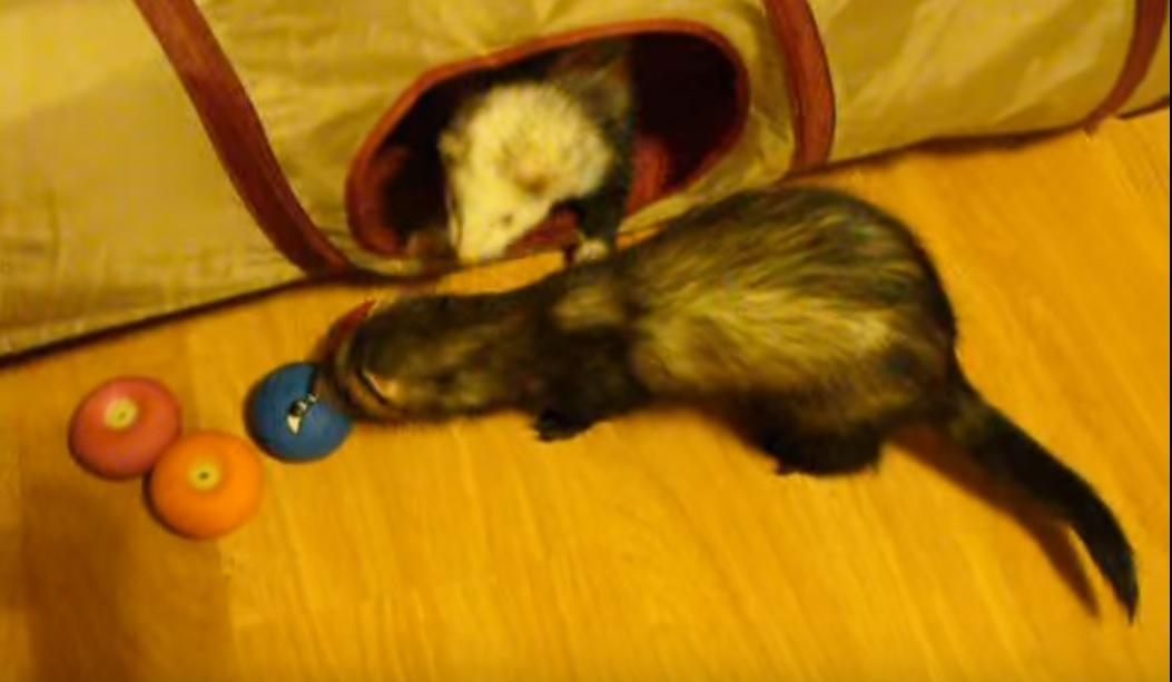 ferrets-animals