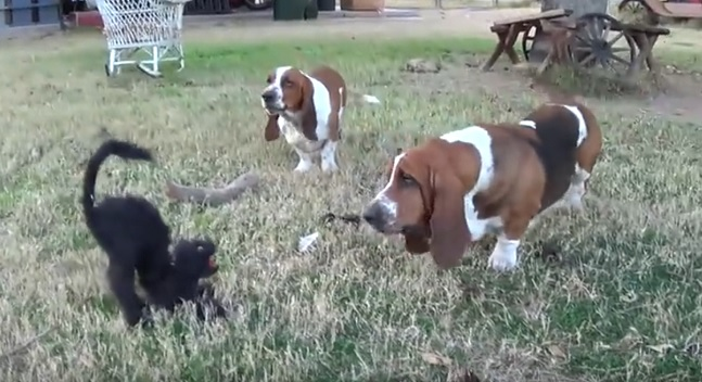 funny-basset-hounds-cat-toy