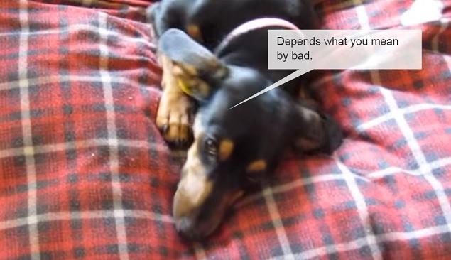funny-black-dachshund