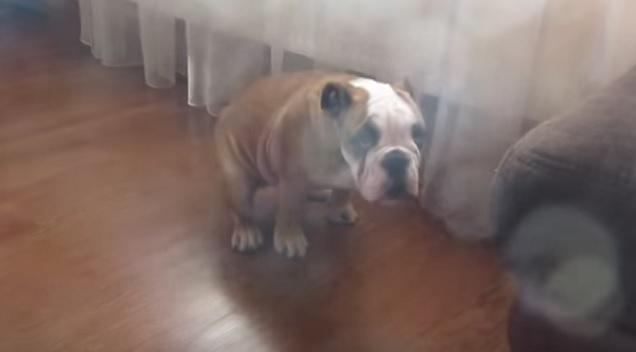 funny-bulldog-english-sit