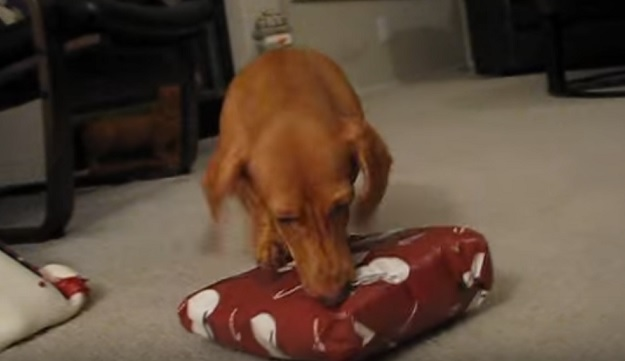 funny-dachshund-dog-present