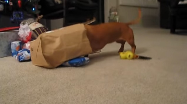 funny-dachshund-hidden-in-the-bag