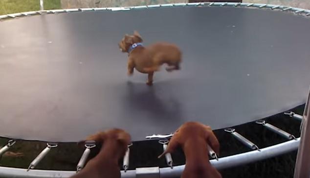 funny-dachshund-on-trampoline