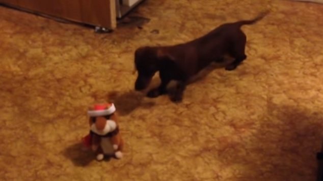 funny-hamster-doxie-play