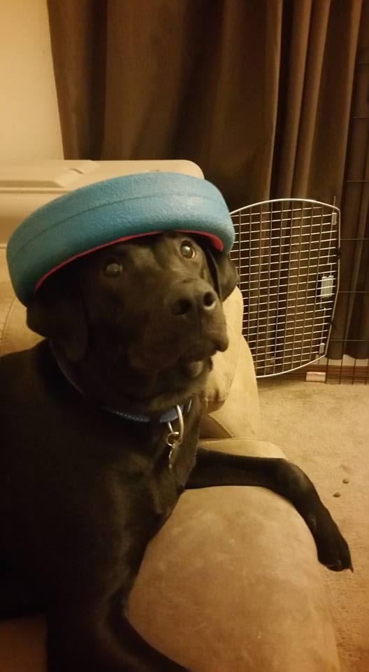 funny-labrador-hat-dog