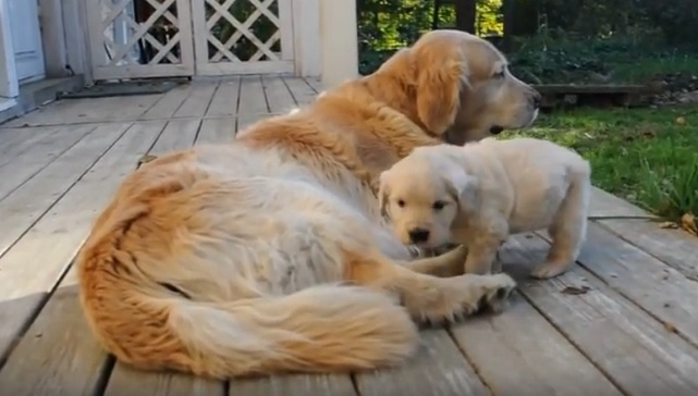 golden-family-retrievers
