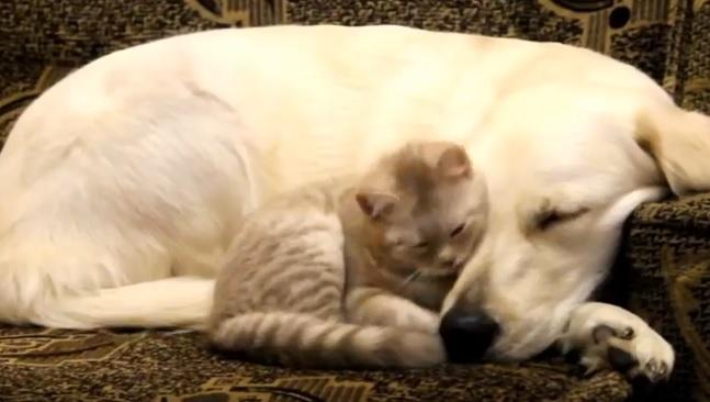 golden-retriever-cat-friends