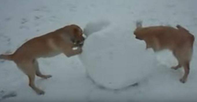 golden-retriever-play-snow-ball