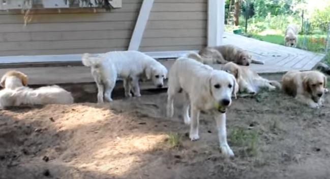 golden-retrievers-dogs-apples-pups