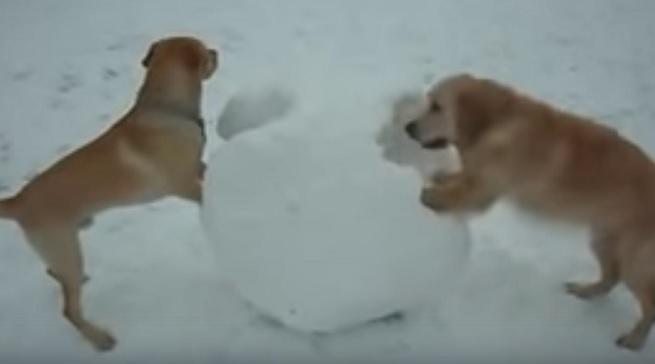 golden-retrievers-dogs-photo-snow