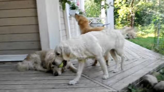 golden-retrievers-dogs