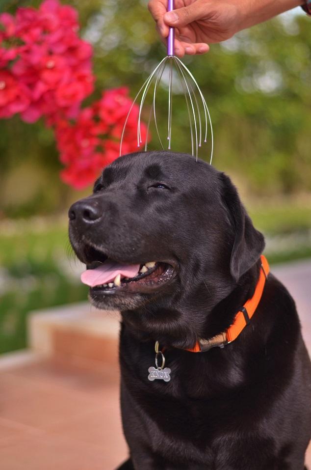 happy-labrador-favorite-toy