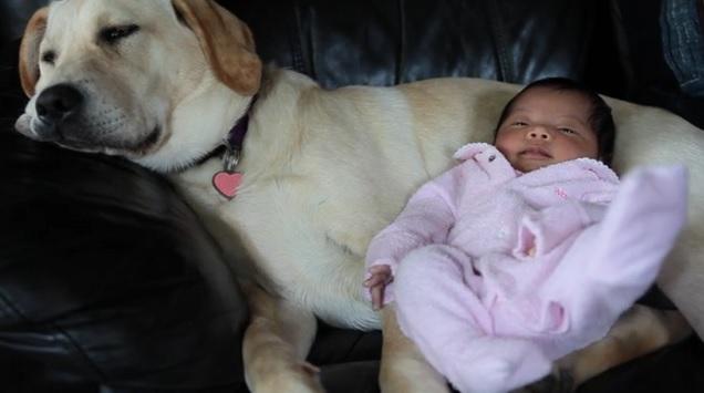 labrador-babysit-dog-baby