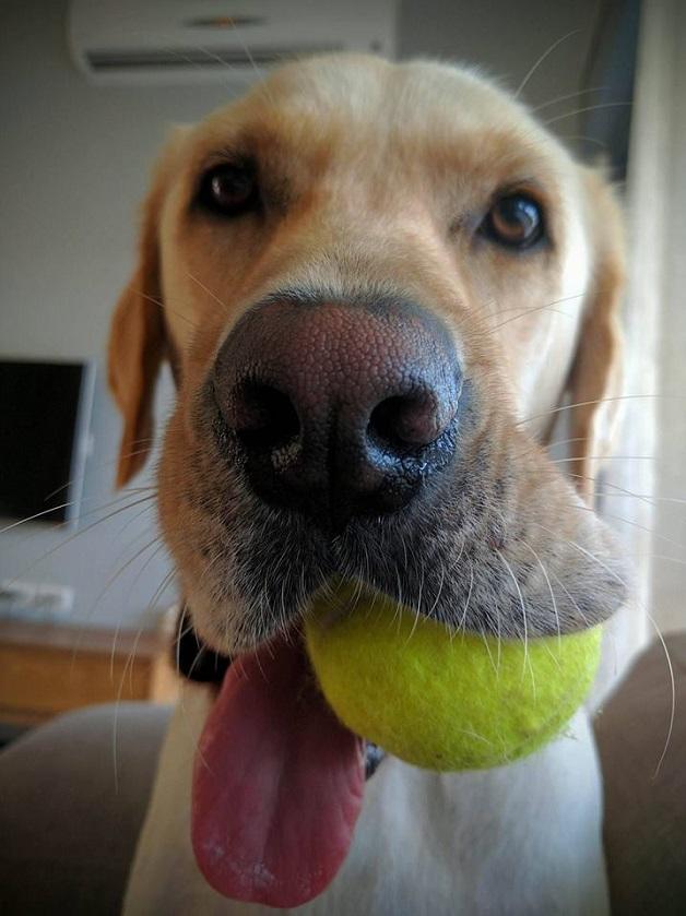 labrador-playful-dog-ball