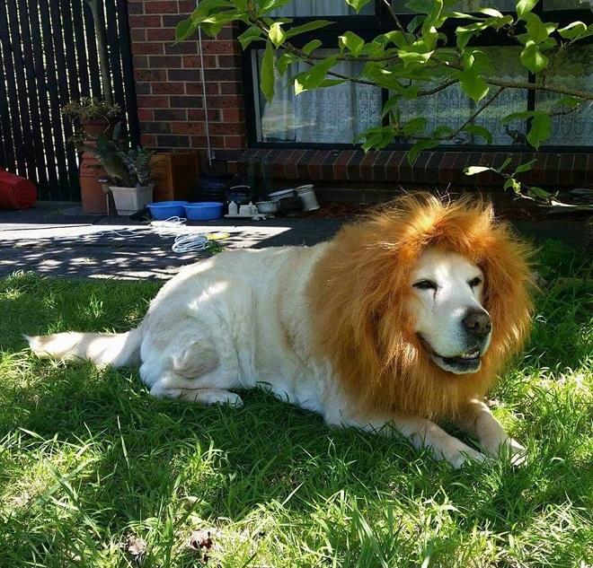 labrador-simba-dog-lion-funny