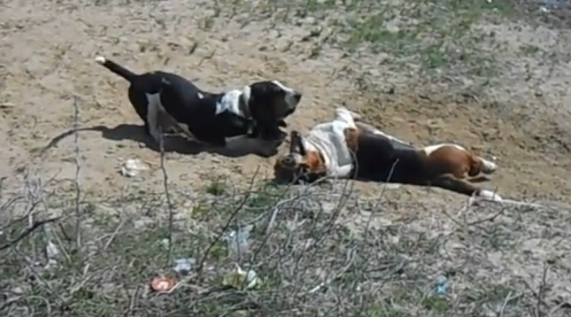 playful-basset-hounds-dogs
