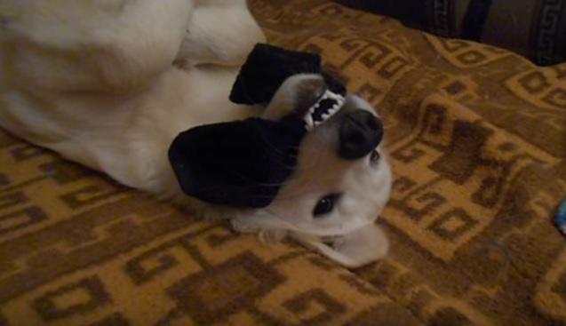 playful-golden-retriever-sock
