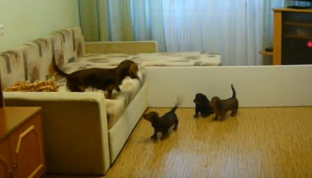 playful-pups-dachshund-dogs