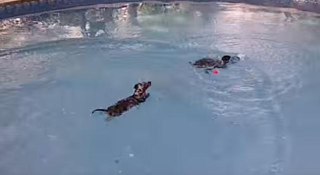 swimming-dachshund-dog