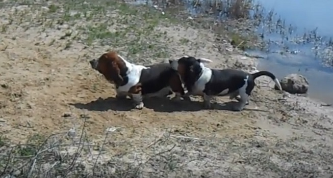 two-bassets-playing-beach