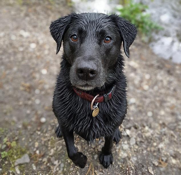 wet-cute-labrador-dog