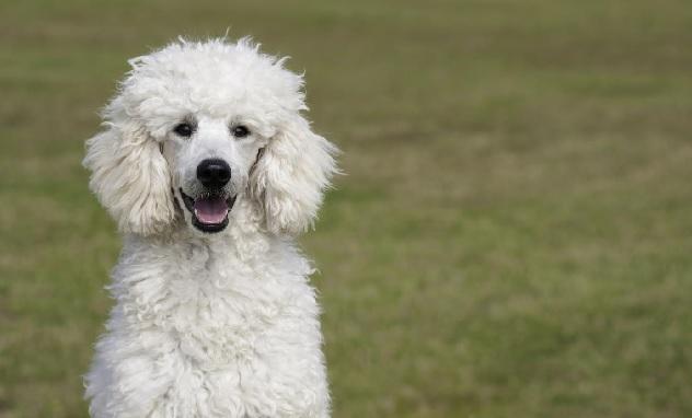 white-poodle-dog
