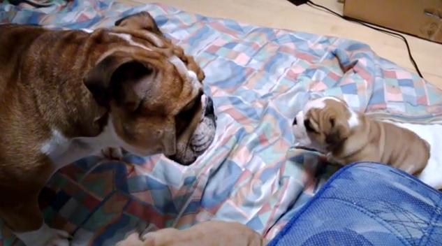 cute-english-bulldog-puppy-dog