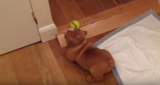 cute puppy playing english bulldog